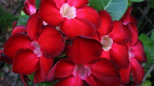 Адениумы Мини – комнатные цветы