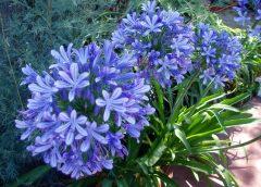 Агапантус садовый