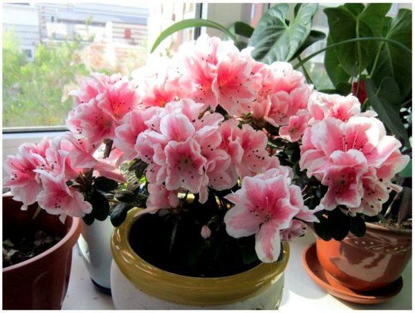 Комнатные цветы – уют в доме